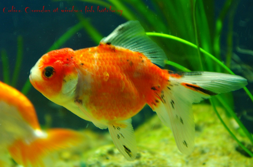 calico-oranda-for-sale-at-windsor-fish-hatchery-goldfish-feb.jpg