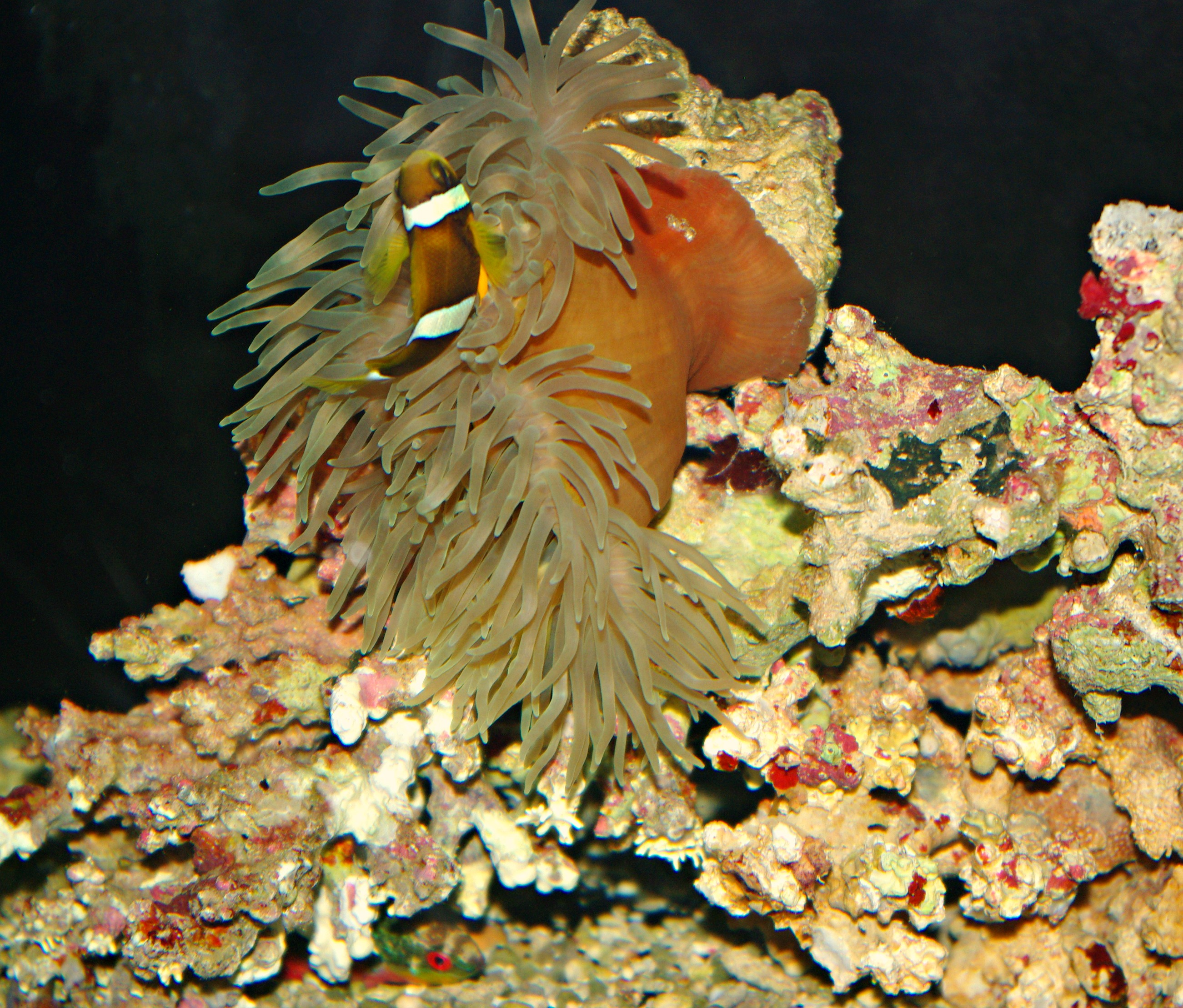 clarkies-clowns-in-anemone-by-night.jpg