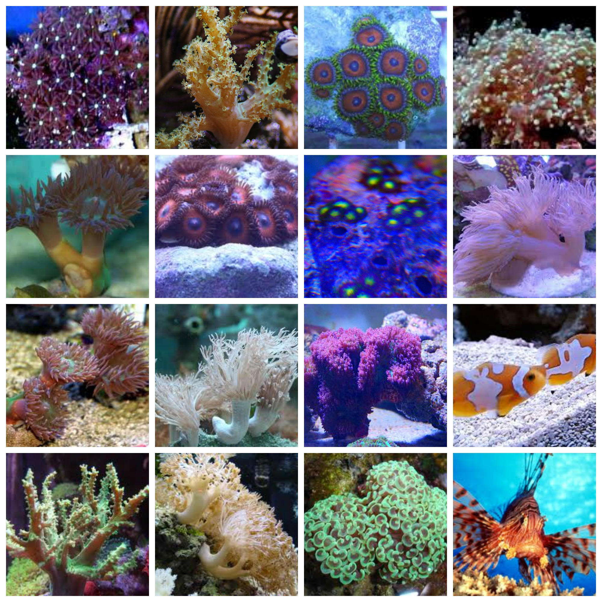 collage-corals-19june.jpg